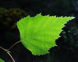 frunze de mesteacăn pentru tratamentul artrozei cauza edemului articulațiilor gleznei