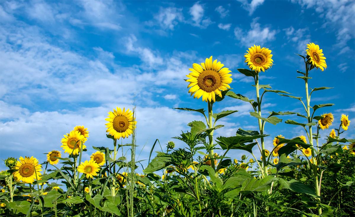 Articole de tratare a uleiului de floarea soarelui durere de șold sport
