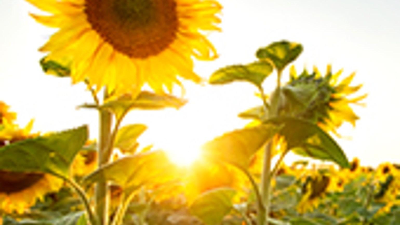 Articole de tratare a uleiului de floarea soarelui artroza articulației genunchiului cu unguente