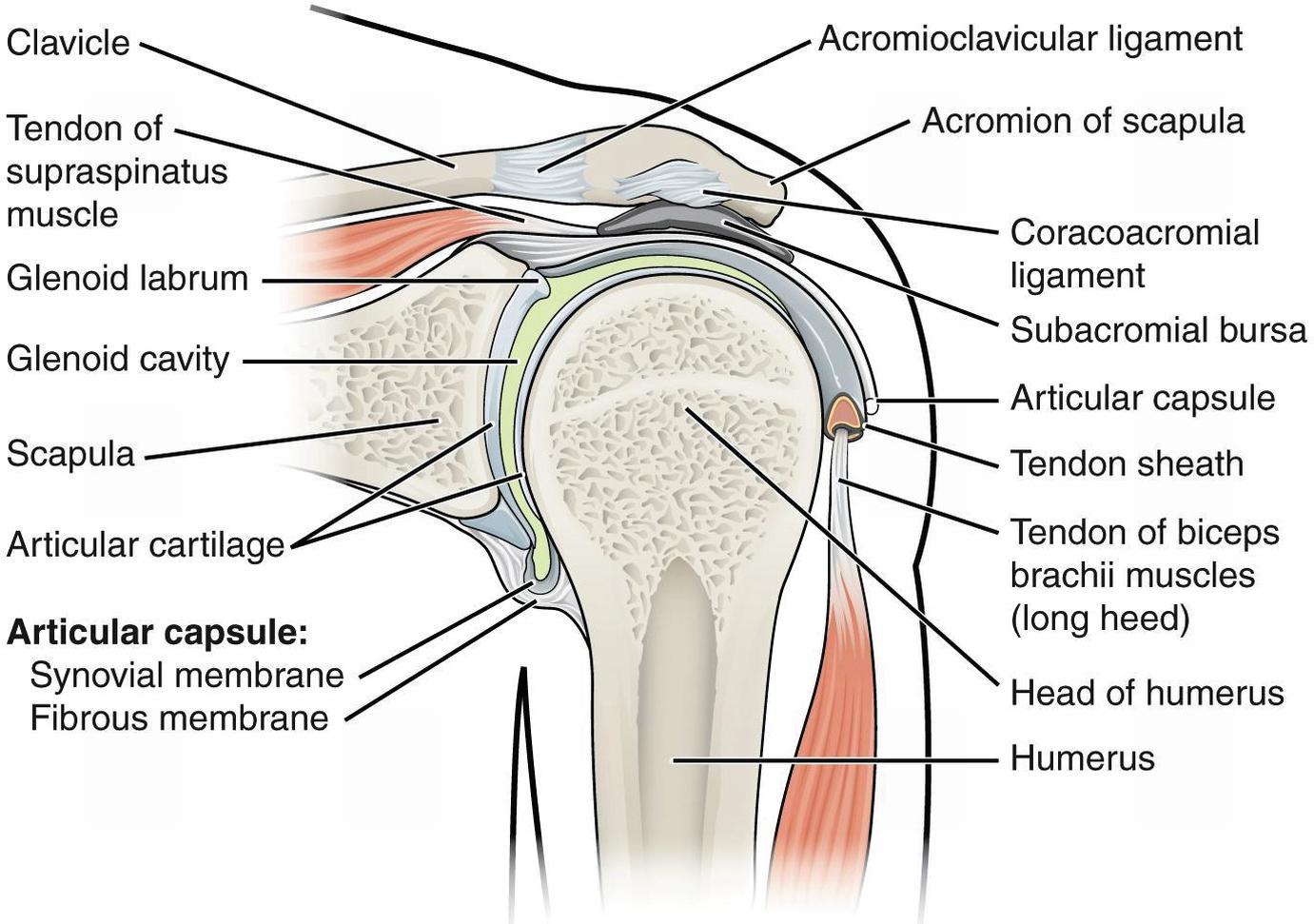 glandele bolii articulare