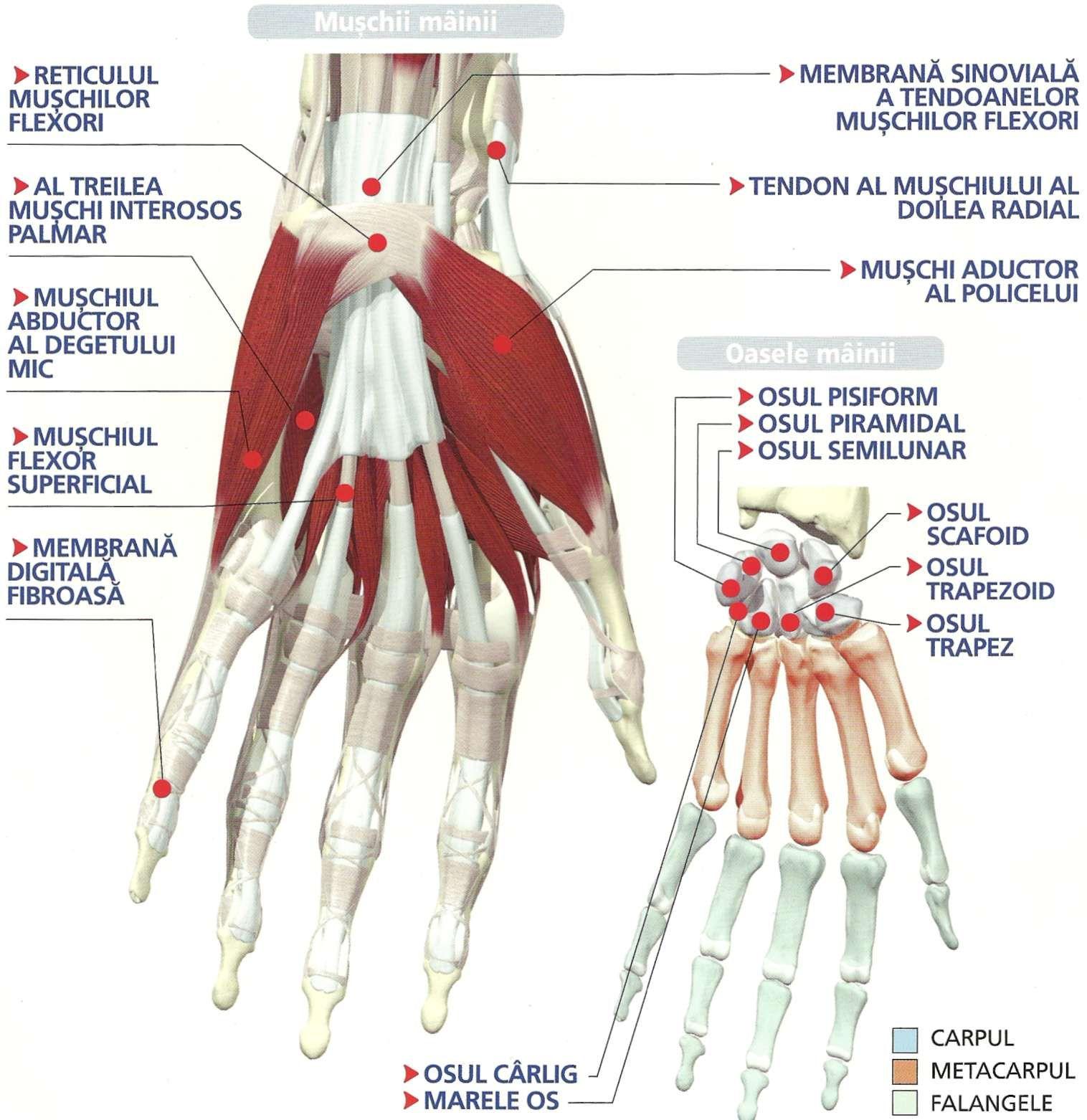 boli ale mușchilor și articulațiilor mâinilor lichid în articulația genunchiului și tratament