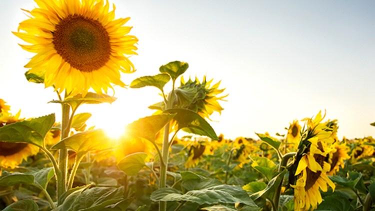 Articole de tratare a uleiului de floarea soarelui articulația arătătorului doare și se umflă
