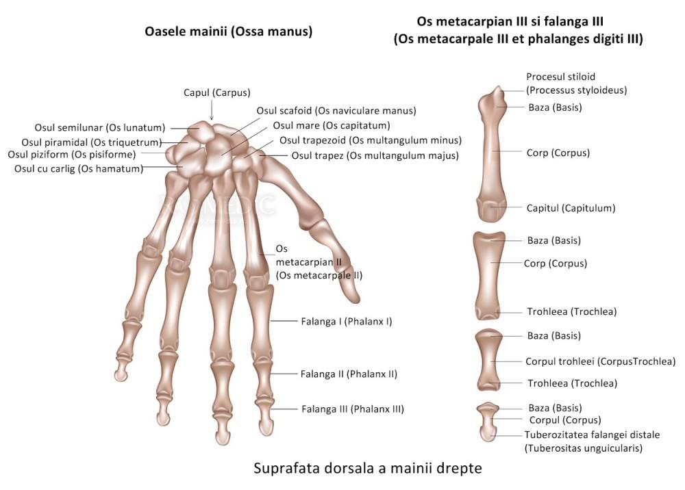 boli ale mușchilor și articulațiilor mâinilor homeopatie pentru artroza articulațiilor