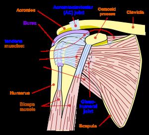 ligamente pe articulația umărului rănit curbura genunchiului după accidentare