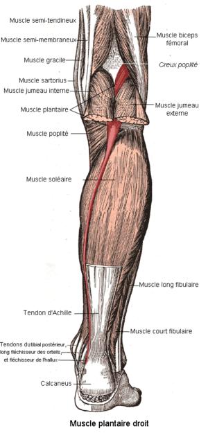 condilul genunchiului