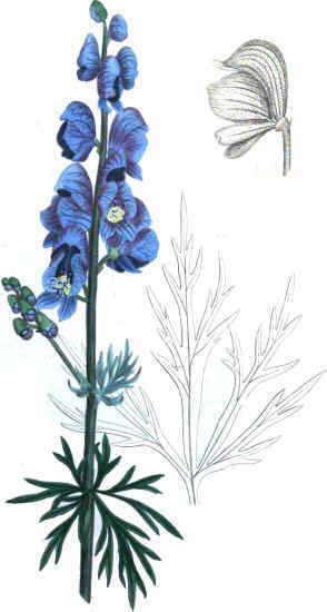 Boiron Aconitum Napellus Ch - fotolii-canapele.ro - Aconit articular