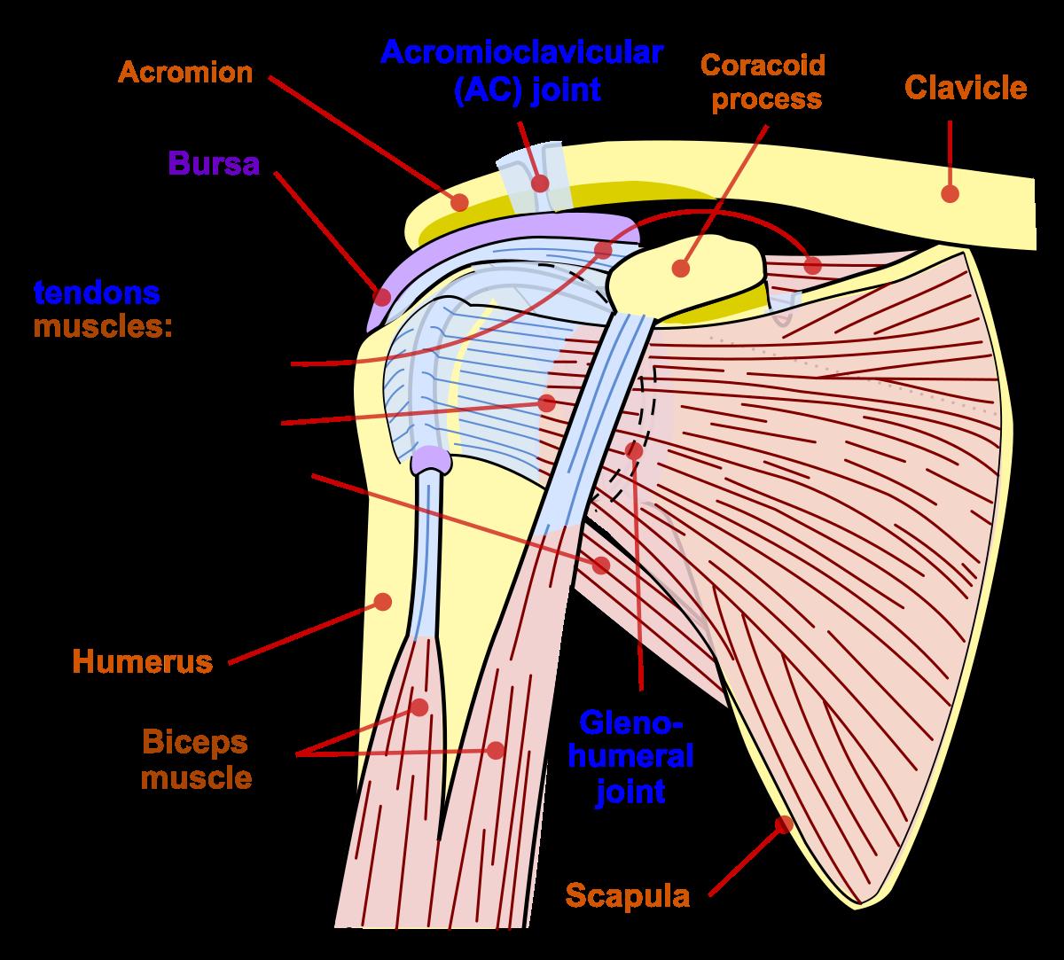 ligamente pe articulația umărului rănit Unguent articular Georgian